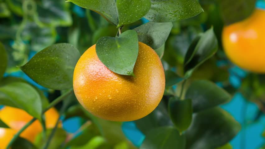 slow motion, grapefruit tree, juicy, ripe
