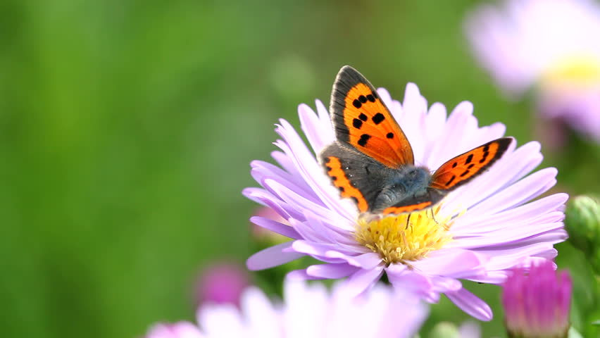 butterfly on flower - HD stock video clip