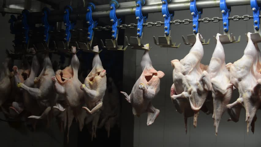 broiler chicken cutting on factory
