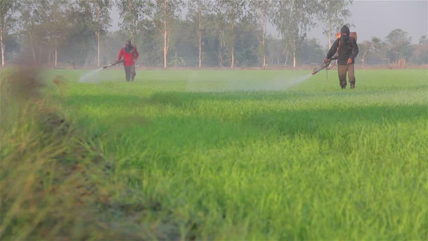 farmer spraying pesticide in rice farm in the morning