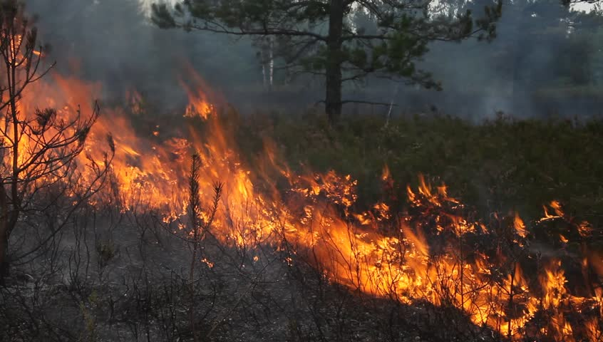 Forest fire. Video is appropriate to visualize wildfires or prescribed burning of forest or heathland characteristic for Europe and Asia (UK, Scandinavia etc., wood of conifers in any country).