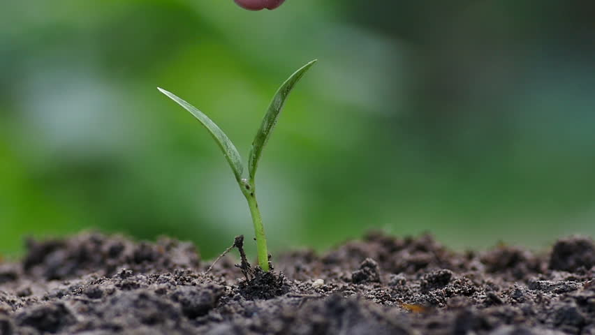 Agriculture,Seeding,Seedling,Plantation,Male hand giving chemical fertilizer to sprout in slow motion