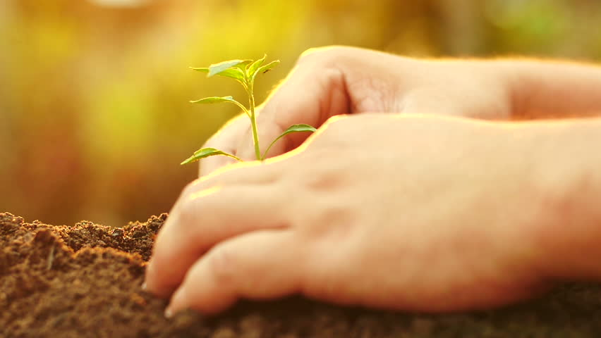 Planting, Seeding, Seedling, Close up. Male hand planting young tree over sunrise light  Vintage Style , Slow motion