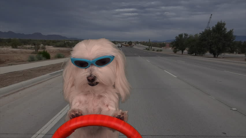 Time Lapse, Cool Maltese dog wears sunglasses, drives on road, over bridge, switches lanes. 4K UHD 3840x2160