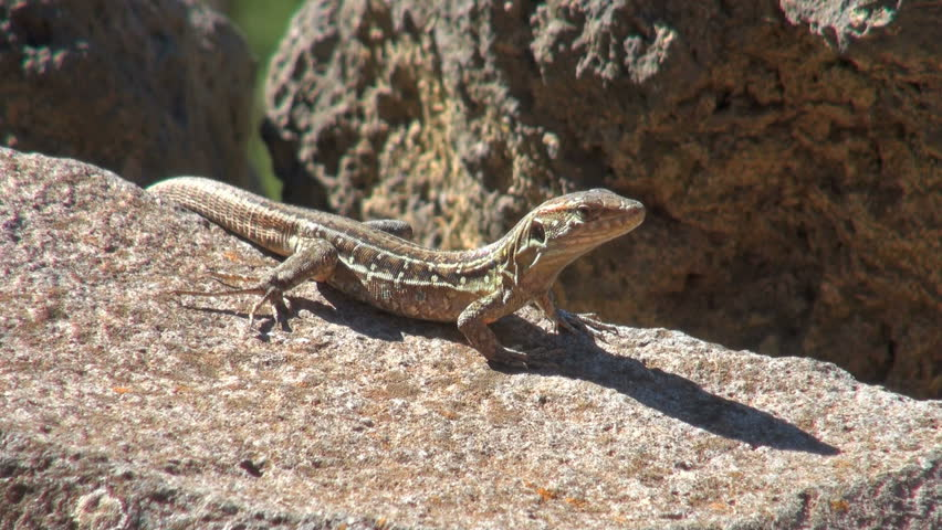 lizard sitting on rocks and then running away - HD stock video clip
