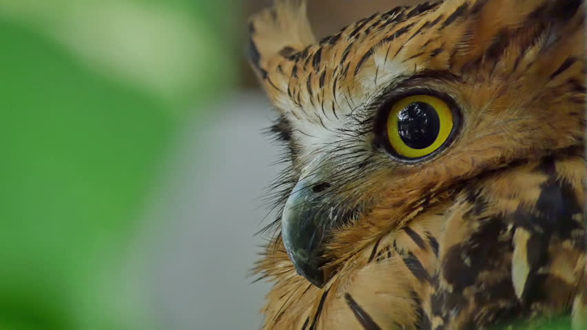 Eyes Horned eagle-owl | Shutterstock HD Video #9117023