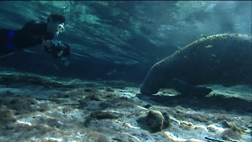 CIRCA 2010s - A diver photographs a manatee underwater. - HD stock video clip