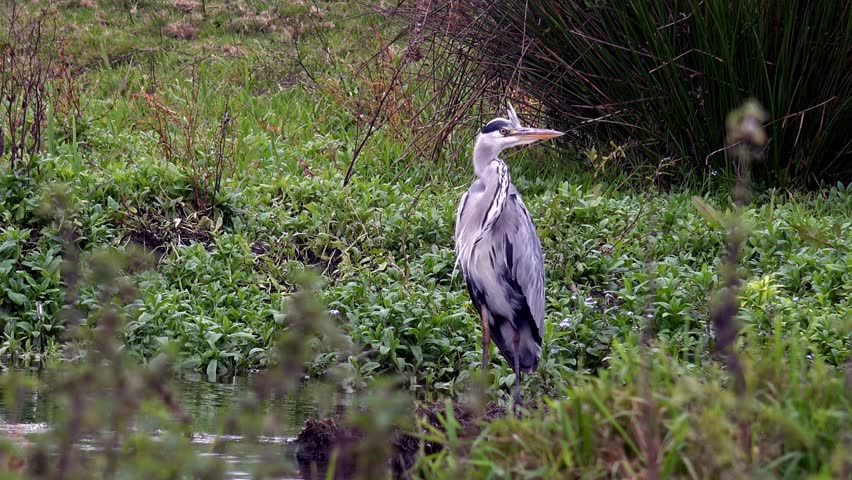 British Countryside - Grey Heron British Wildlife - March 2015 - 02666698 - HD stock footage clip