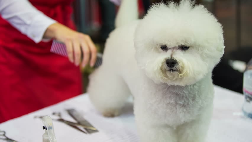 Bichon Frise dog fur styling. Professional dog hair stylist cutting away purebred fluffy white hair close up. - HD stock video clip