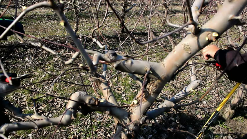 Pruning of orchards two fruit grower working spring pruning fruit trees in the orchard video - Spring trimming orchard trees healthy ...