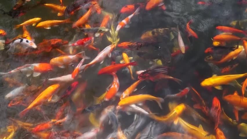 A school of different species of koi goldfish swim in a for Koi fish species