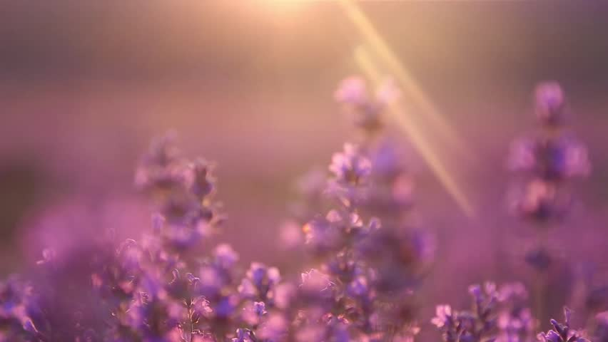 Sunset on the lavender field