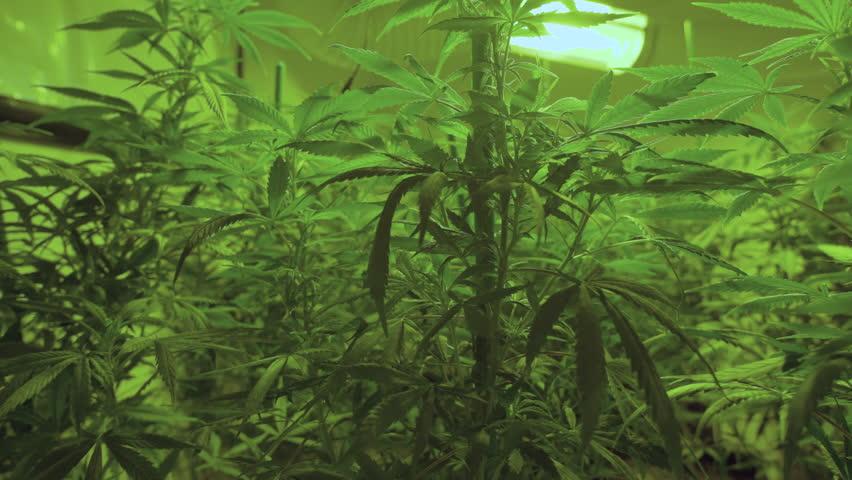 A large group of marijuana plants