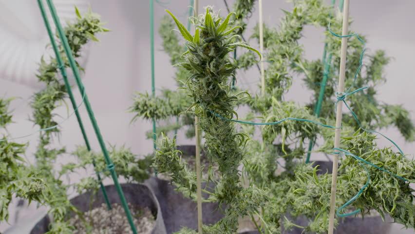 Big Marijuana Buds in shallow depth of field