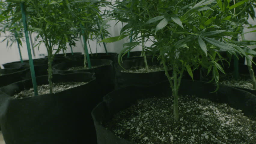 Movement up over a crop of marijuana plants in a grow room