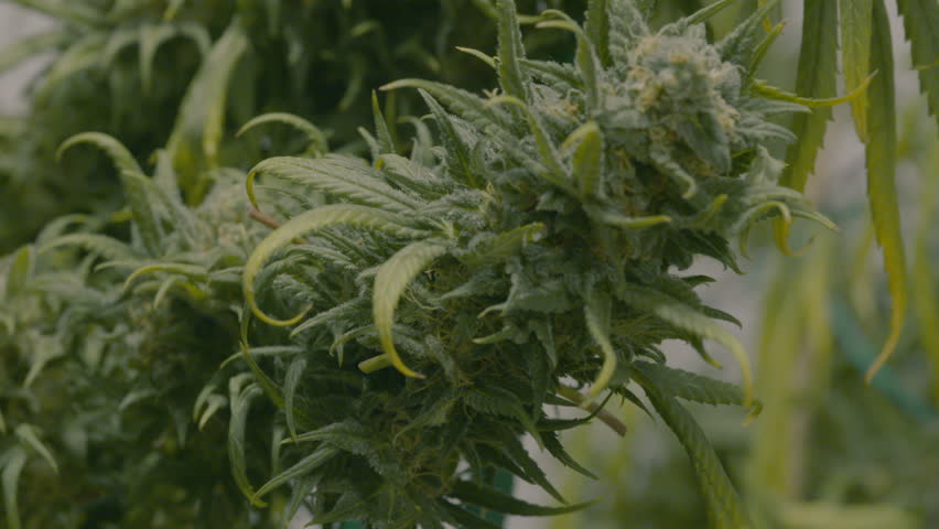 A Grower Trimming Big Marijuana Buds