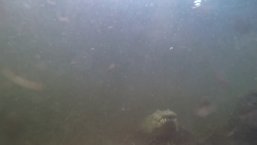 Small crocodiles swimming in murky water stock footage for Koi pond water murky