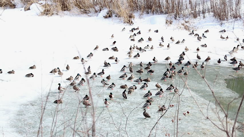 Canadian Ducks in Winter - Smooth Tracking Shot - HD stock footage clip