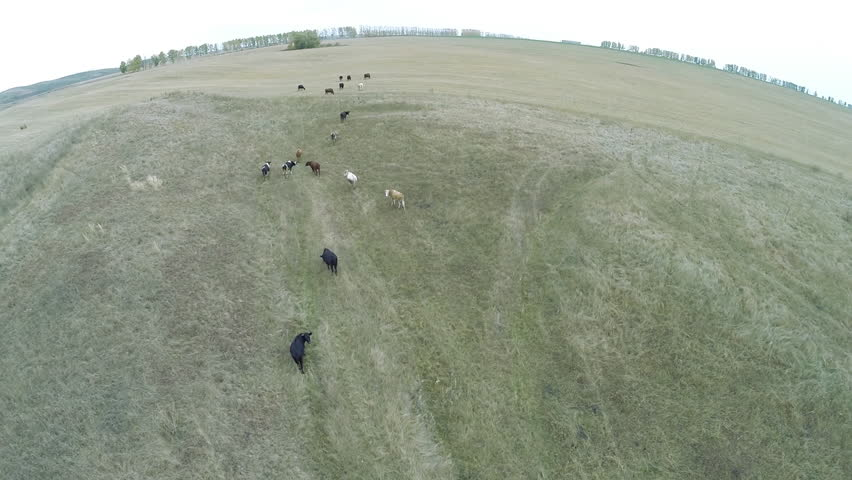 Aerial view. Flying over a herd of cows in the pasture. Bashkortostan, Russia, Ufa  - HD stock video clip