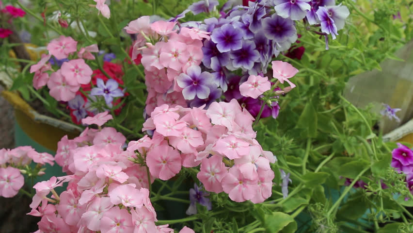 Phlox flower on the flowerbed - HD stock video clip