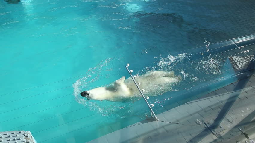 IZHEVSK, UDMURDSKAYA REPUBLIC/RUSSIA - MARCH 29: Polar bear swimming in the water in the pool enclosure at the zoo on March 29, 2015 in Izhevsk.   - HD stock video clip