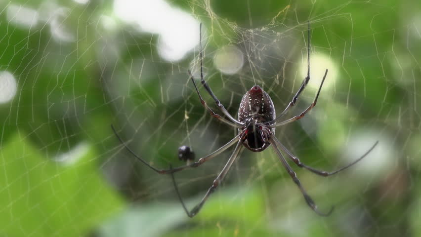 Common spider in a spider web or cobweb in the Cuban countryside, 4k stock footage clip.