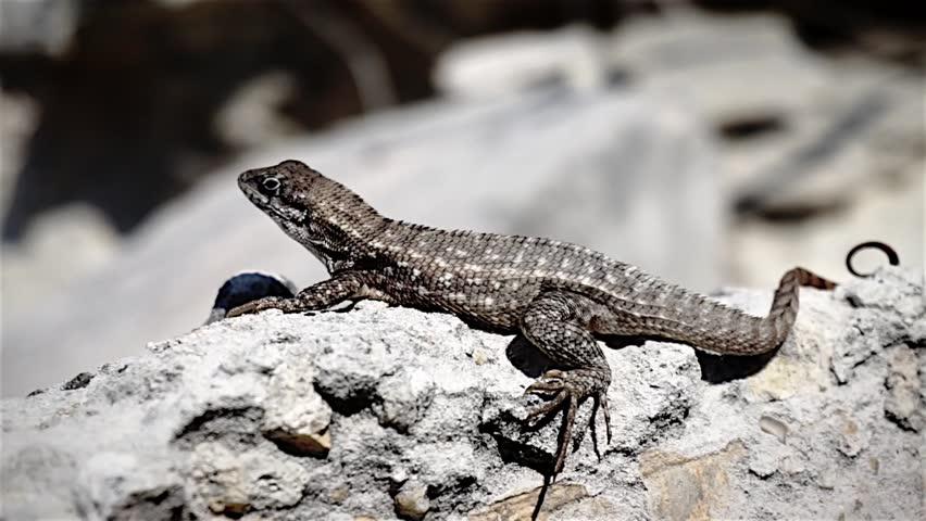lizard on a rock close up - HD stock video clip