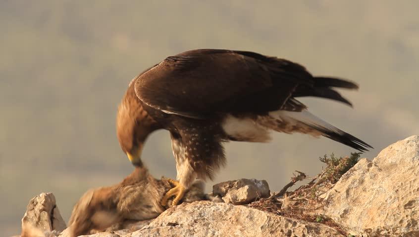 Golden eagle  Aquila chrysaetos    Shutterstock HD Video #9589514