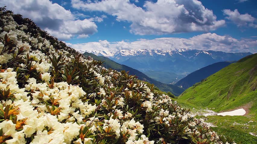 View of the alpine meadows with rhododendron flowers at the foot of Mt. Ushba. Dramatic unusual scene. Upper Svaneti, Georgia, Europe. Main Caucasian ridge. Beauty world. HD video (High Definition)