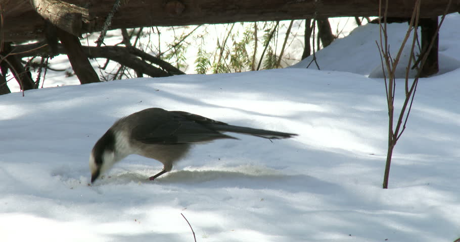 Gray jay eating sunflower seeds on the snow in winter in Algonquin Provincial Park, Ontario, Canada