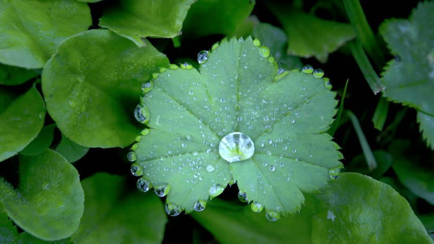 Header of Alchemilla vulgaris