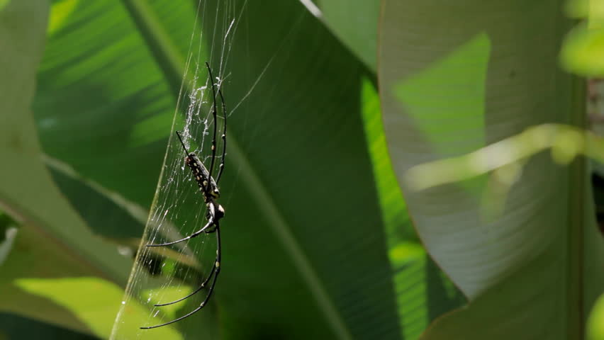 The Northern Golden Orb Weaver or Giant Golden Orb Weaver (Nephila pilipes) creating it's web, ventral side. Bali, Indonesia. - HD stock footage clip