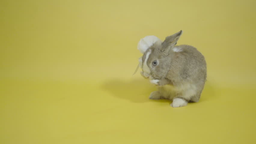Rabbit in white bows washes slow motion  - HD stock footage clip