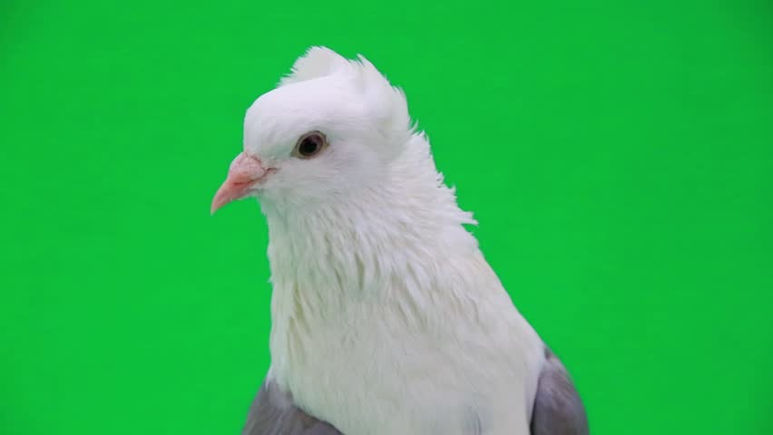 White pigeon on the green screen | Shutterstock HD Video #9912992