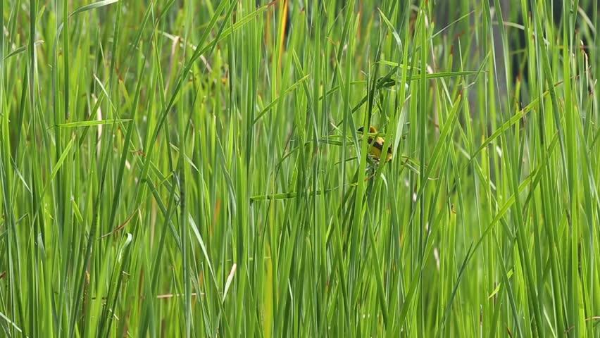 Asian Golden Weaver nesting - HD stock video clip