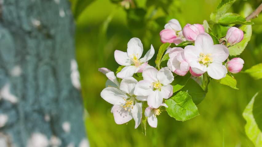 Apple tree blossom 4k | Shutterstock HD Video #9918176