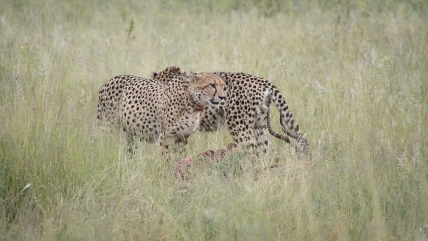 Two cheetahs in the wild eating and dragging their fresh catch, an impala - HD stock footage clip