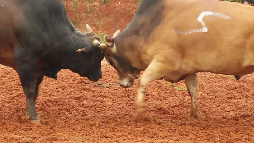 Bull fighting - HD stock footage clip
