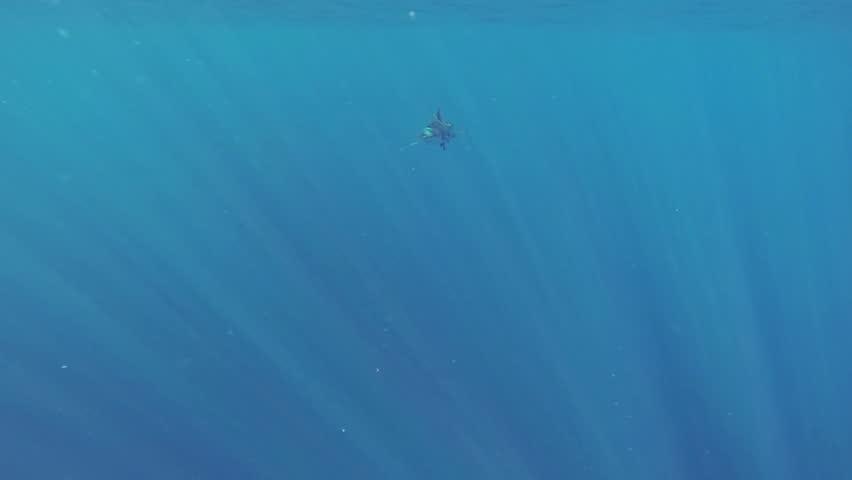 Beautiful full HD footage of a blue shark (Prionace glauca) in the deep blue ocean near Baja California, Mexico