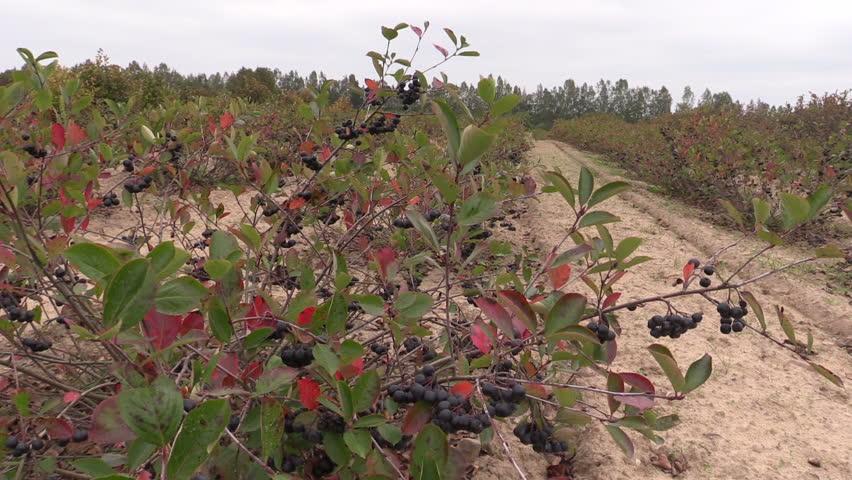 Chokeberry (Aronia) black berry bushes grow in farm plantation. Static shot on Canon XA25. Full HD 1080p. Progressive scan 25fps. Tripod. - HD stock footage clip