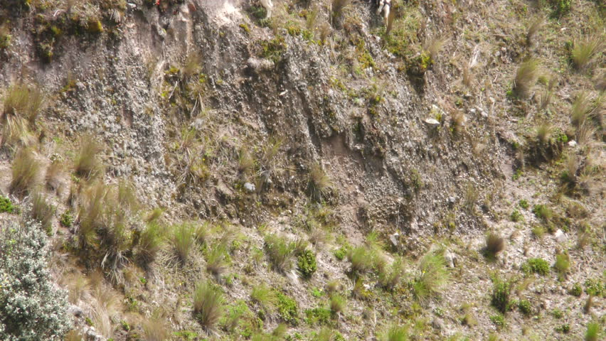 Flock Of Goats Grazing On The Steep Slopes Of Quilotoa Crater  - 4K stock footage clip