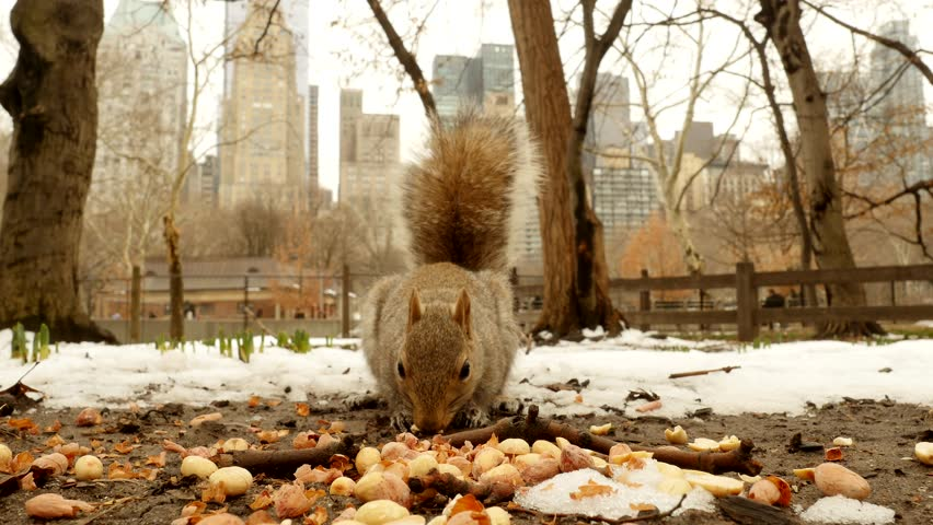 one squirrel eating nuts outdoors. animal wildlife background - 4K stock footage clip